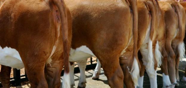 Koeienpoep brandstof