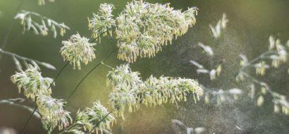 graspollen-allergie