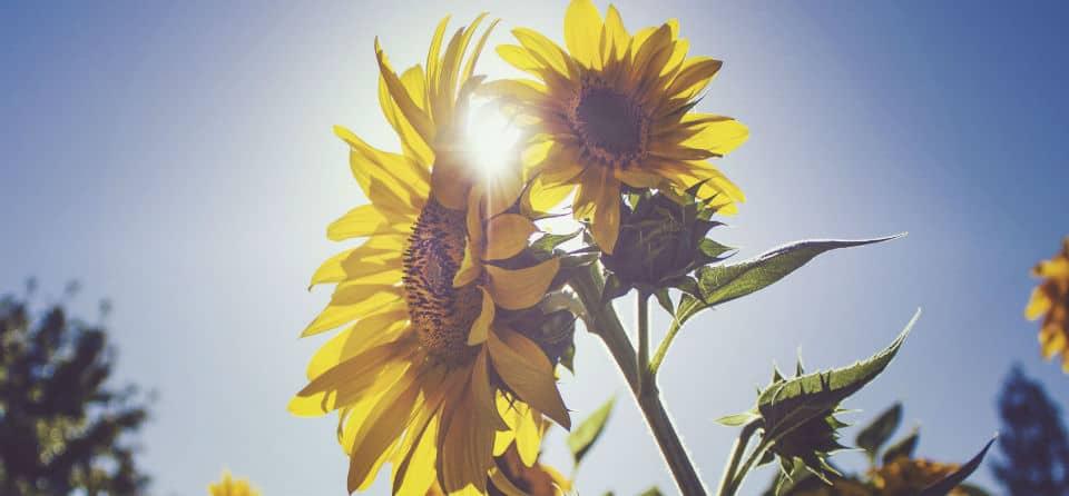 Bloem, zomer, zonnestralen